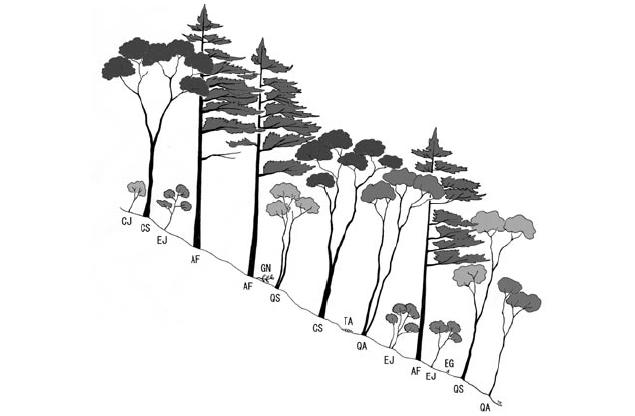 ヤブコウジ-スダジイ群集の群落断面模式図